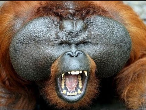 National geographic Documentary   -  The Real King Of The Jungle   Orangutan Documentary