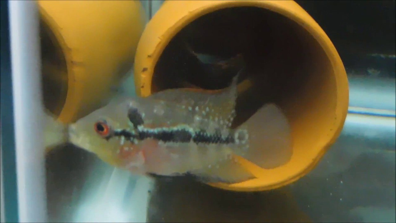 Baby flowerhorn MALE - YouTube