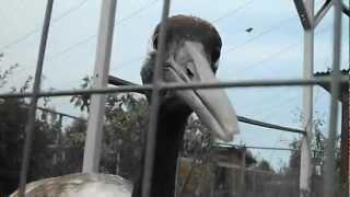 японский журавль не щадит клюва своего