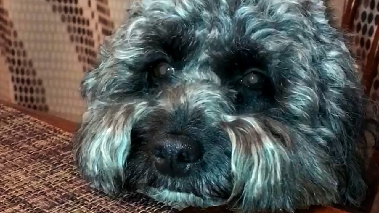 Cute and Funny Poodle Videos!!