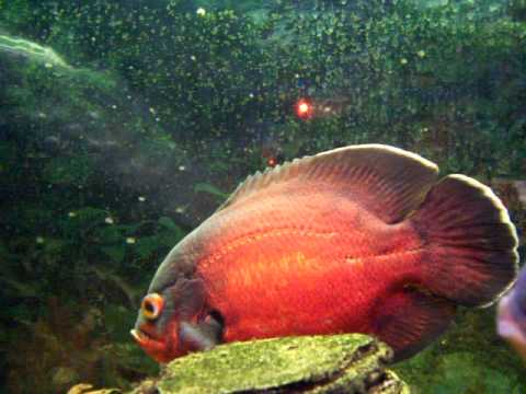 My two big red oscar fish youtube for Show me pictures of fish