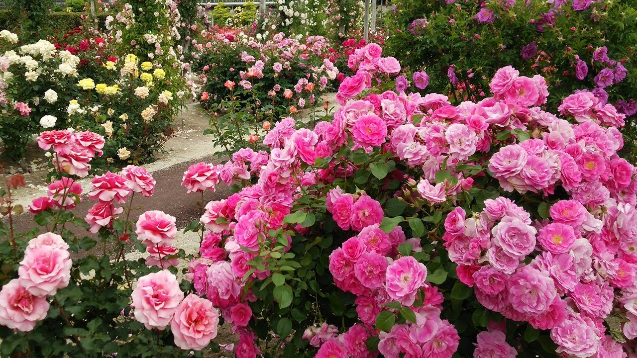 4k Hdr Video Beautiful Rose And Garden Flowers Youtube