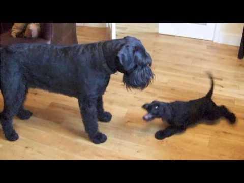 My New Giant Schnauzer Puppy Plays With Arnie.
