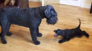 My New Giant Schnauzer Puppy Plays With Arnie.