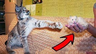 ХОМЯК ДЛЯ РЫСИ? (18+) Живые корма для диких кошек, плюсы и минусы