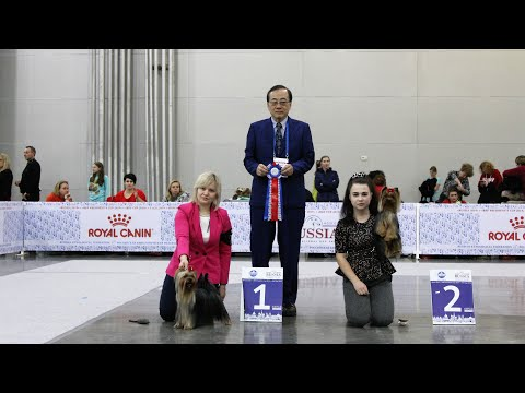 International Dog Show RUSSIA 2019, Yorkshire Terriers