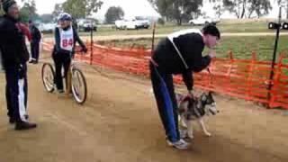 Scarlet At 2008 Nsw Sled Dog Shield At Grabine