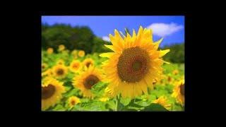 """Sunflower""Japan Relaxing Music,Background Piano Music,Instrumental Music."