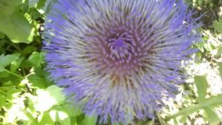 Floare anghinare