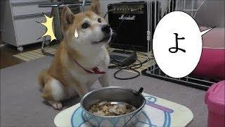柴犬小春 【実験】朝食の合図の「よし」が、「よ」だけだったらどうなる? thumbnail