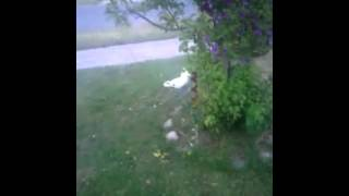 Cockatoo Chases Down Pittbull.