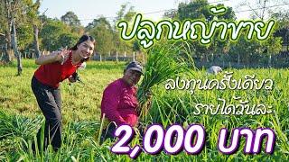 ปลูกหญ้าขายรายได้ วันละ 2,000บาท