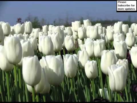 White Tulips | Picture Set Of Beautiful Folwers