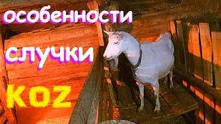 Особенности случки КОЗ, или козы-нехочухи.