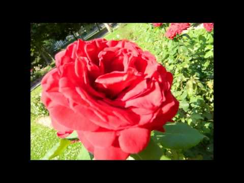 Rose Fleur D Amour Youtube