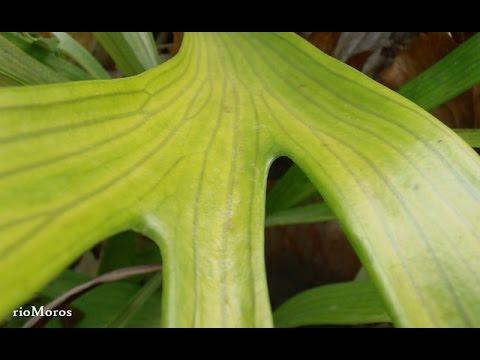 Cuerno de alce: Platycerium bifurcatum (www.riomoros.com)