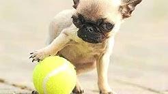 Top 10 pienin koiria maailmassa. Kokoaminen [koirarodut]