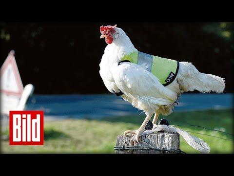 Huhn Polly trägt Warnweste – Sicherheit für Eier