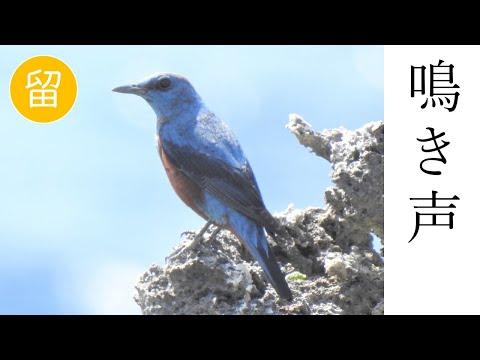 【解説付き】イソヒヨドリの鳴き声(さえずりと警戒声) ▶1:55