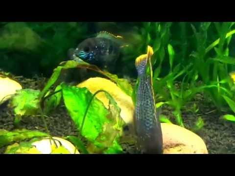 Акары бирюзовые фото самца и самки