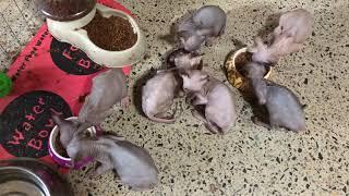 Furrvelvet sphynx kittens