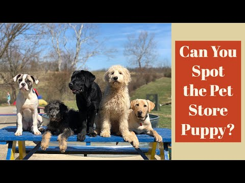 Pet Store Puppy Challenge | Can you tell the difference?