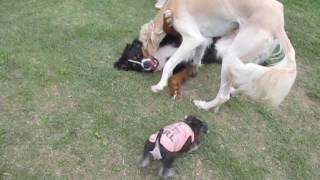 仔犬のねねちゃん(ミニシュナ)は、何にでも興味津々。。 でも、大人げ...