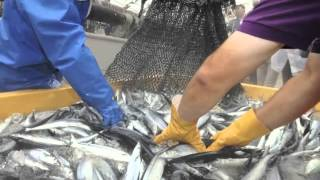 Sanma grilled fish in The Japan News