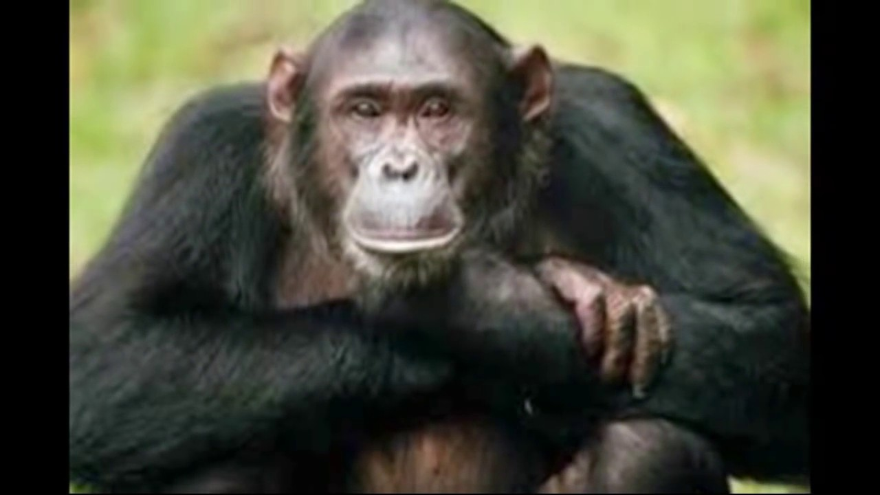رؤية القرد في المنام وعلاقته بعالم السحر والجن والشياطين Youtube