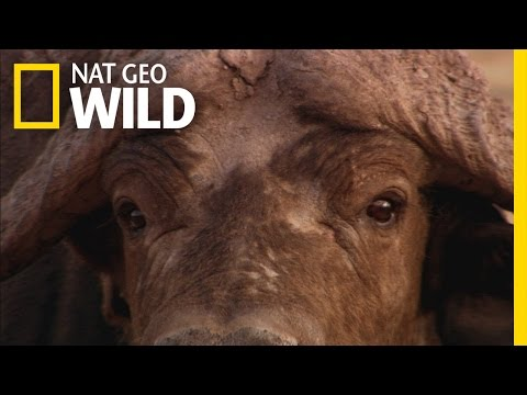 Killer Cape Buffalo | Ultimate Predator