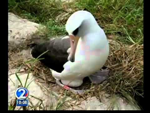 Midway Atoll famous for bird population