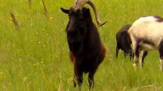 Przywódca stada kóz w EKO-FARMIE