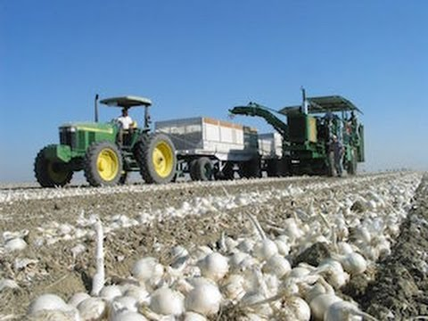 Update on the California Dehydrated Onion Crop