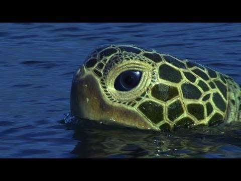 Spy Turtle observes a pod of bottlenose dolphins - Dolphins - Spy in the Pod: Episode 1 - BBC One