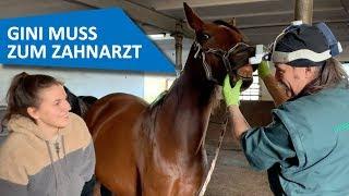 Gini muss zum Pferde-Zahnarzt 😱