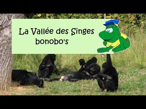 La Vallée des Singes, bonobo's