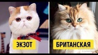 13 самых умных и дружелюбных пород кошек