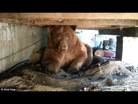 Thumbnail: Man records scary encounter with brown bear hiding under his PORCH