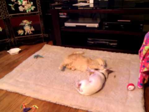 Chihuahua Dog vs. Tiffany Cat Refereed by Min Pin/Chihuahua