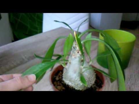 Ant plant Myrmecodia: Ameisenpflanze im Wohnzimmer