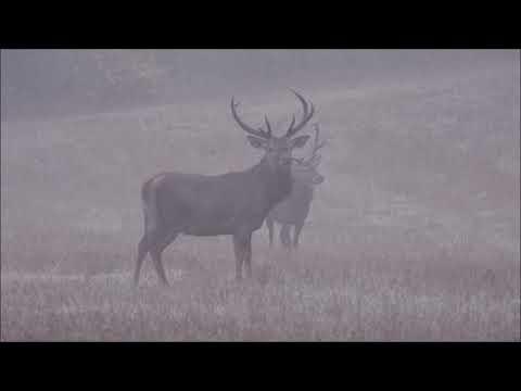 Jeleni na říjišti -  Videolovy - Life in nature