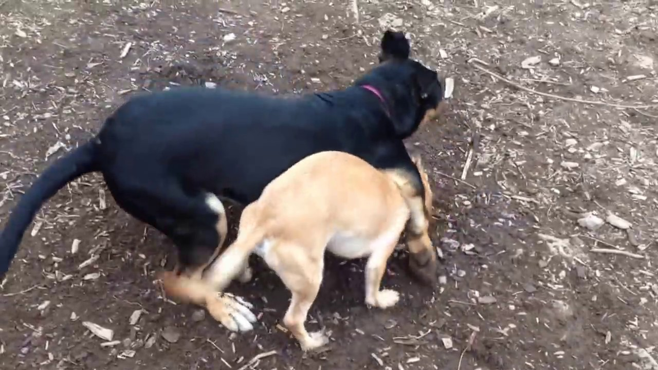 German Shepherd/Rottweiler Mix playing with Jack Russell ...