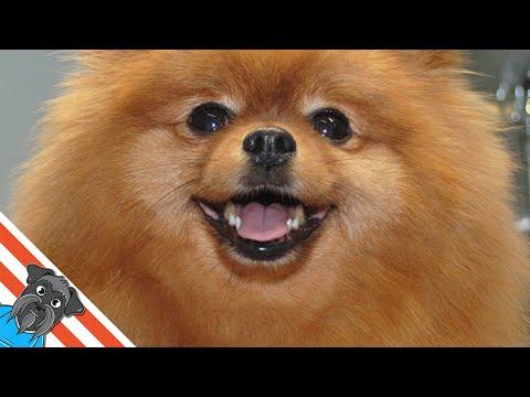 How to Groom. Happy Pomeranian) - Grooming of the pomeranian spitz in the pet salon