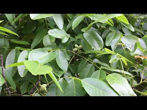 Common walnut (Juglans regia) - leaves & young fruit - June 2018