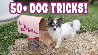 Chihuahua Practices Over 50 Dog Tricks! Lots of Cute Dog Trick Ideas To Train With Your Dog