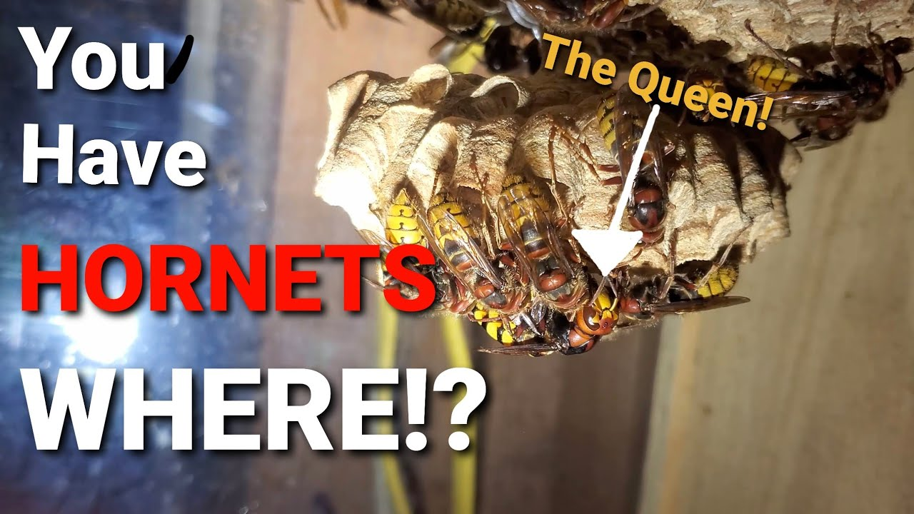 """I Put A Hornets Nest In A Box, And THIS Happened!! Hornets as """"Pets"""""""