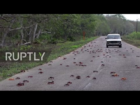 Cuba: Crabs invade Bay of Pigs showing US how it