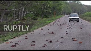 Cuba  Crabs invade Bay of Pigs showing US how it's done