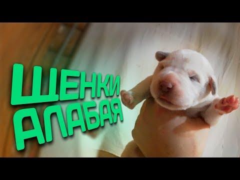видео: Щенки Алабая // Среднеазиатская овчарка // Жизнь в деревне