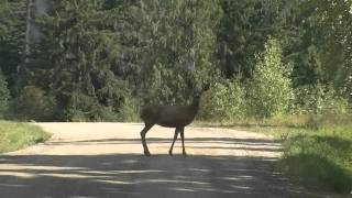 Deer on a Road